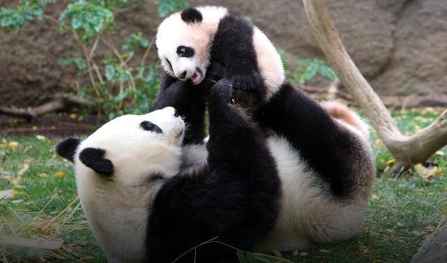 san-diego-zoo-giant-panda